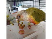 Found conure parrot eccles Manchester 7/7/18