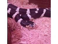 male and female king snake