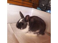 Adult Netherland Dwarf male blue split. Approx 1 year old. Ready to rehome now.