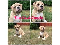 Old English Bulldogs for sale