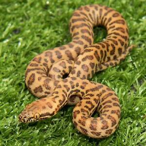 Stimsons Python Hatchlings Howard Springs Litchfield Area Preview