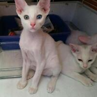 Chatons oriental