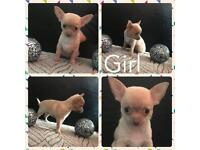 Ready now!! Reduced. Kc reg chihuahua puppies