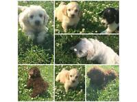Cockapoo Puppie f1 girls and boys