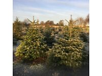 Christmas trees direct from largest grower in Northern Ireland