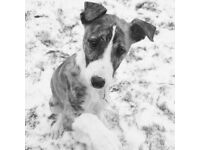 Female Lurcher Pup 5 months old