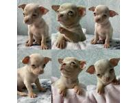 TeaCup Chihuahua puppies.