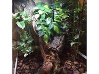Crested Gecko & Bioactive Live Planted Terrarium ExoTerra / Vivarium / Lizard / Reptile