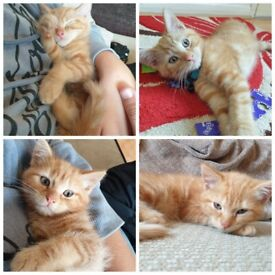 2 kittens for sale to go TOGETHER