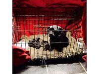 Dachshund x Pug Puppies for Sale