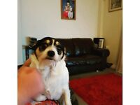 Jack Russell cross for sale