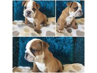 Ready now Kc registered English bulldog puppies