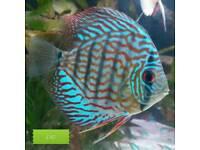 4 x Discus fish