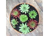 Sempervivums / Houseleeks, pick and mix, job lot of 24 plants for just £18
