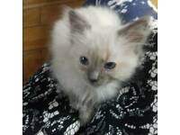Pure Blue point Ragdoll kittens for sale