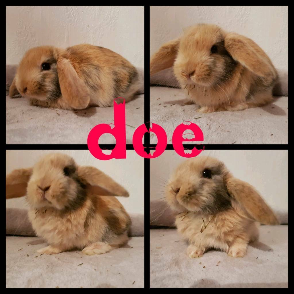 Mini lop babies for RESERVE ONLY