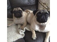 2 X Female Fawn Pugs KC Reg £3,600 no offers accepted