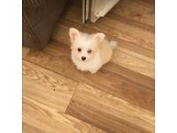 Tiny Pomeranian cross Maltese terrier little girl.