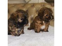 Shihpoo puppies