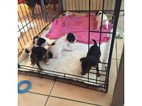 Jack X Yorkie Puppies For Sale