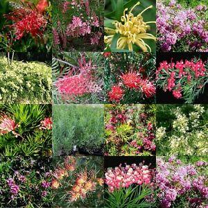 8 Grevillea 4 Types Australian Native Garden Plants Hardy Flowering Shrubs Fast
