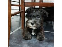 Schnauzer | Dogs & Puppies for Sale - Gumtree
