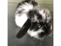 Mini lop rabbit's ready to be reserved