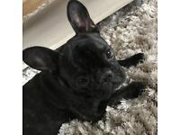 10 month old Pedigree French Bulldog