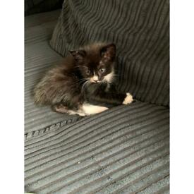 All Kittens Now Sold Kittens For Sale Ready 7th Feb In Paisley Renfrewshire Gumtree
