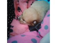 Male Pedigree Pomeranian puppies for sale.