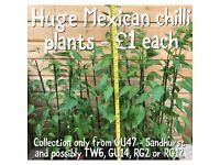 🌶 Huge (2.5ft+) flowering Serrano Mexican chilli plant - similar to Jalapeño, only hotter - bargain