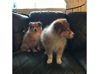 Beautiful rough collie puppies for sale