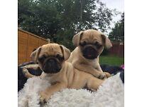 PUG PUPPIES KC REG FOR SALE
