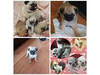 Quality Pug puppies-fawn,apricot, white/chinchilla