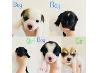 GORGEOUS PUPPIES (JackRussellxChihuahua X FrenchBulldog x Pug)