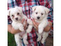 West Highland White Terrier x Bichon Frise