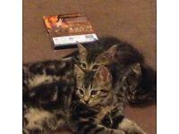 Bengal X kittens for sale 1 female left