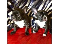 KC REG French Bulldog for sale