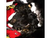 Kittens £200