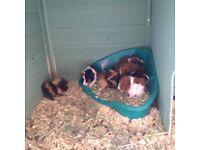 Guinea pigs for sale child lost interest.
