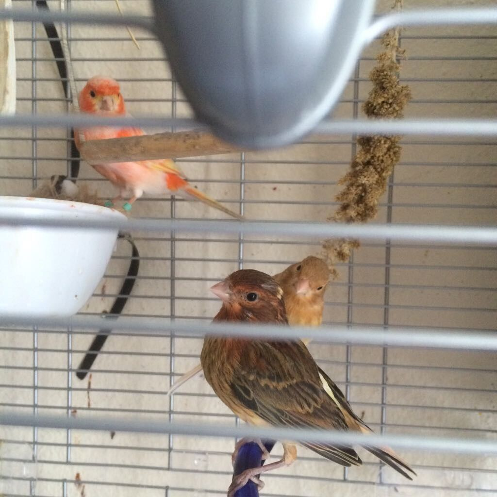 Canaries couple for sale