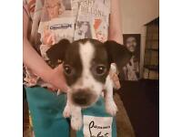2 Jack Russel Chihuahua cross puppies