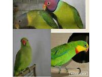 green Indian ringneck parrot plum headed
