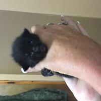 Free long haired kittens