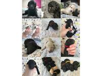 Toy Poodle Puppies Available