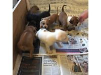 XL Stafforshire Bull Terrier Puppies