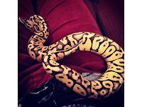 Super Pastel Vanilla Ball Python