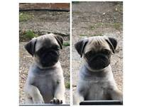 Pug puppies. READY NOW!!