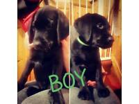 2 BOY Labrador Puppies for SALE. Ready to go NOW !!!
