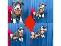 American xl bully puppies